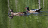 6-14-08 wood ducks_1276.jpg
