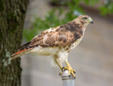 Red-tailed Hawk, young adult