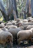 9882- driving through sheep