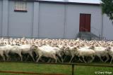 9380-sheep.jpg