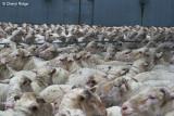 9383-sheep.jpg