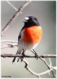 Scarlet Robins