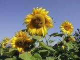 Sunflower6-Valle di Non2.jpg