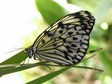 Butterfly1-Trieste.jpg