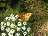 Butterfly-Valle di Non.jpg