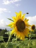Sunflower5--usm.jpg