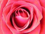 Roses 045.jpg