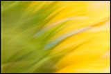 _MG_8887 liquid sunflower cwf.jpg