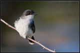 _MG_4658 kingbird wf.jpg