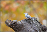 _ADR9863 white-breasted nuthatch cwf.jpg