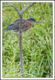 _MG_9603 green heron wf.jpg
