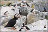 atlantic puffin colony
