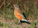 Robin 2919