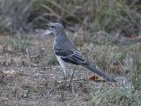 Mockingbird 3083