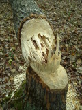 Aspen Stump