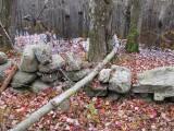 0668 maple fallen not felled.jpg