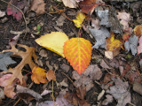 0685 large-toothed aspen leaves.jpg