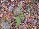 0703 old stump with hickory sprouts.jpg