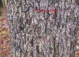 0706 white oak bark.jpg