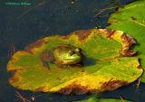 bullfrog.pad.4302.jpg
