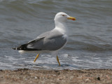 Yellow-legged Gull - Geelpootmeeuw - Larus cachinnans