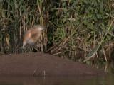 Squacco Heron - Ralreiger - Ardeola ralloides