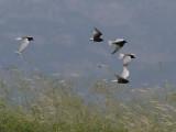 White-winged Black Tern - Witvleugelstern - Chlidonias leucopterus