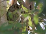 Scops Owl - Dwergooruil - Otus scops
