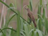 Great Reed-Warbler - Grote Karekiet - Acrocephalus arundinaceus