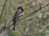 Spanish Sparrow - Spaanse Mus - Passer hispaniolensis