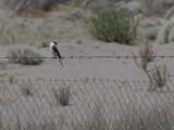 Lesser Grey Shrike - Kleine Klapekster - Lanius minor