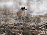 Little Ringed Plover - Kleine Plevier - Charadrius dubius