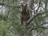 Long-eared Owl - Ransuil - Asio otus