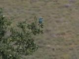 European Roller - Scharrelaar - Coracias garrulus
