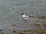 Little Gull - Dwergmeeuw  - Larus minutus