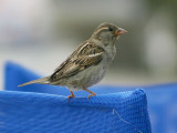 House Sparrow - Huismus - Passer domesticus