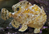 (White) Frogfish