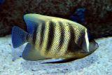sixbanded angelfish