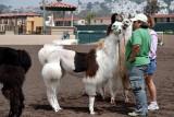 Llama competition