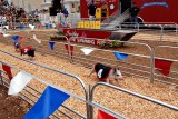 The pig races
