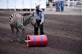 Performing Zebra