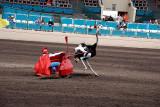 Ostrich races