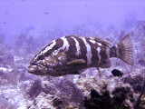 Coral Grouper With Fish in Mouth