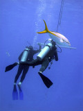 Divers on Safety Stop  Yellow Tailed Jacks