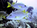 Four Schoolmaster Fish