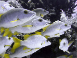 Group of Schoolmaster Fish 2