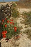 Flowers in Cyprus 02