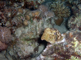 Baby Cuttlefish and Hard Coral 02