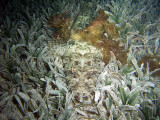 Crocodilefish in Sea Grass from Front
