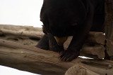 Malayan Sun Bear 22